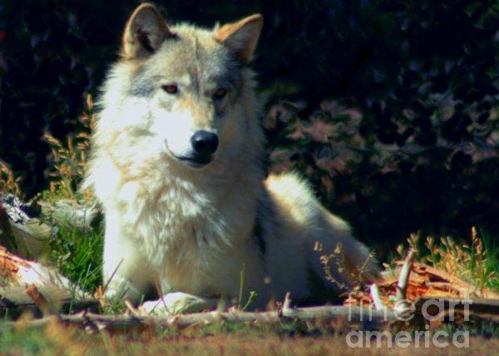 Art Greeting Card featuring the photograph Gray Wolf ... Montana Art Photo by GiselaSchneider MontanaArtist