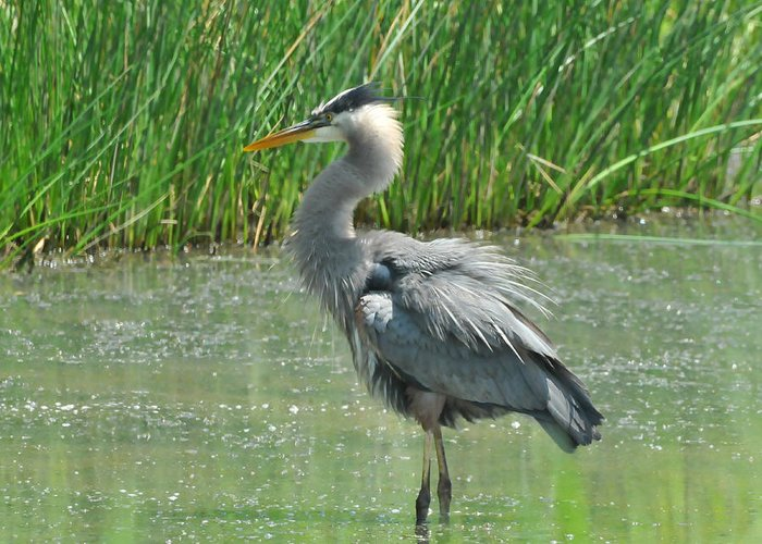 Great Blue Heron Greeting Card featuring the photograph Great Blue Heron by Paul Ward