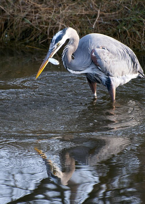Greeting Card featuring the photograph Great Blue Heron by Victoria Martin