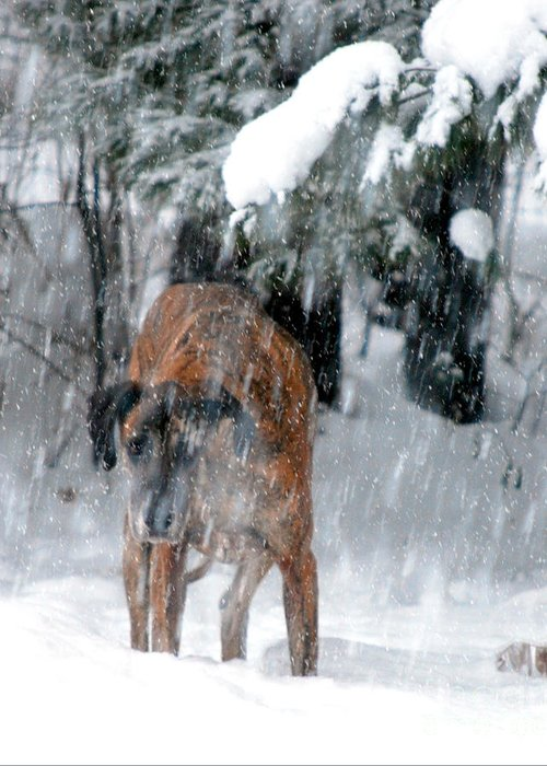 Great Dane Rufus Greeting Card featuring the photograph Great Dane Rufus Looking Into A Blizzard by Lila Fisher-Wenzel