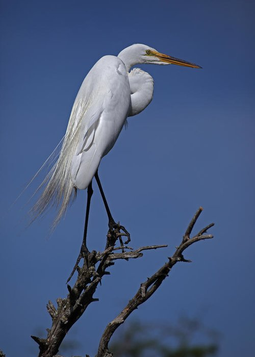 Day Greeting Card featuring the photograph Great Egret, Casmerodius Albus, Perched by John Cancalosi