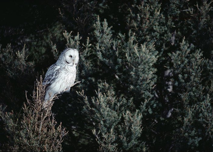 Mp Greeting Card featuring the photograph Great Gray Owl Strix Nebulosa In Blonde by Michael Quinton