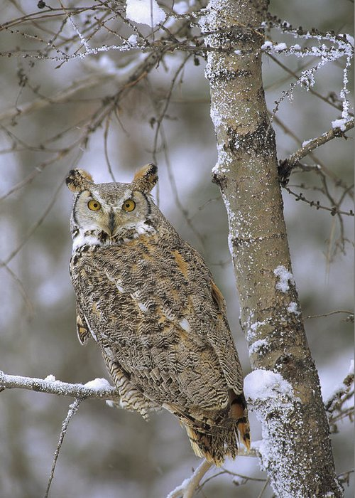 00170560 Greeting Card featuring the photograph Great Horned Owl In Its Pale Form by Tim Fitzharris