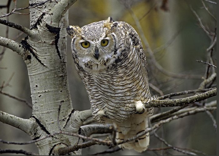 00486896 Greeting Card featuring the photograph Great Horned Owl Pale Form Kootenays by Tim Fitzharris