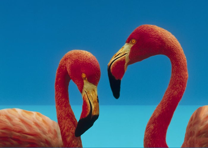 00172310 Greeting Card featuring the photograph Greater Flamingo Courting Pair by Tim Fitzharris