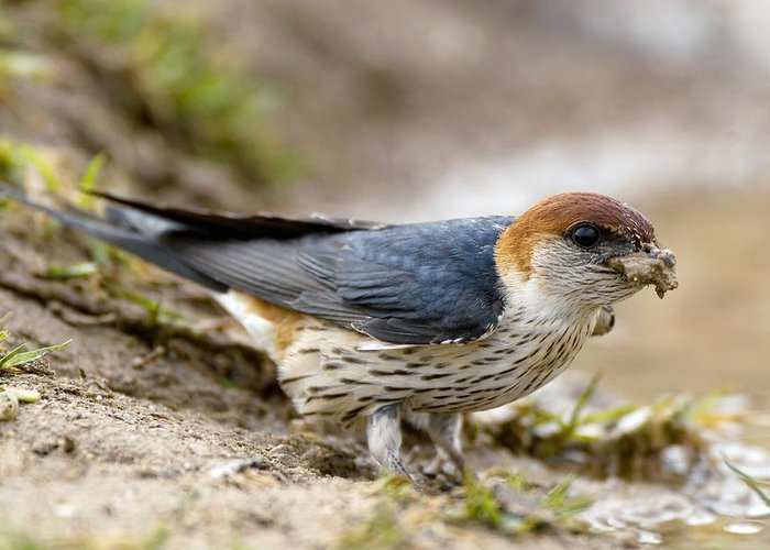 Greater Striped Swallow Greeting Card featuring the photograph Greater Striped Swallow by Peter Chadwick