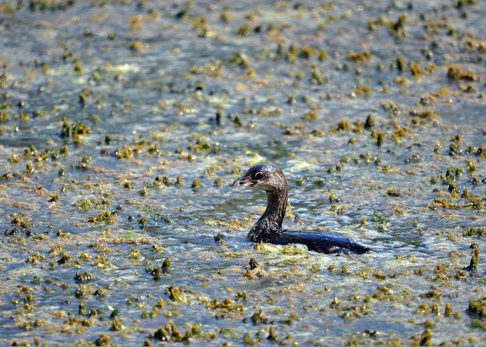 Teresa Blanton Greeting Card featuring the photograph Grebe In Green by Teresa Blanton