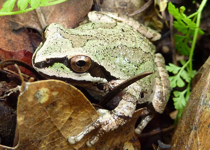 Cindy Greeting Card featuring the photograph Green And Brown Frog by Cindy Wright