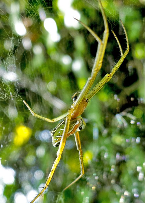 Argiope Spider Greeting Card featuring the photograph Green Argiope by Roy Foos