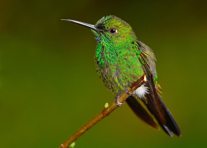 Green-crowned Brilliant Greeting Card featuring the photograph Green-crowned Brilliant by Tony Beck