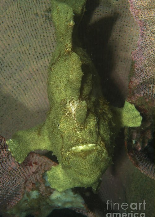Frogfish Greeting Card featuring the photograph Green Frogfish In Sponge, North by Mathieu Meur