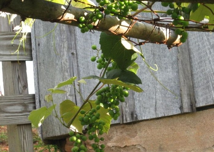 Grapes Greeting Card featuring the photograph Green Grapes On Rusted Arbor by Deb Martin-Webster