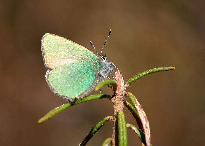 Isosuo Greeting Card featuring the photograph Green Hairstreak by Jouko Lehto