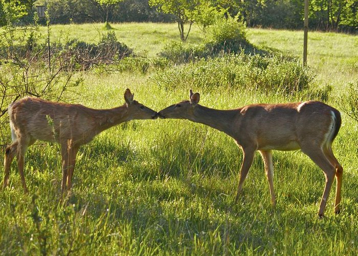 Deer Greeting Card featuring the photograph Greetings by Michael Peychich