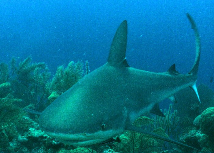 Shark Greeting Card featuring the photograph Grey Reef Shark by Ladonna Idell
