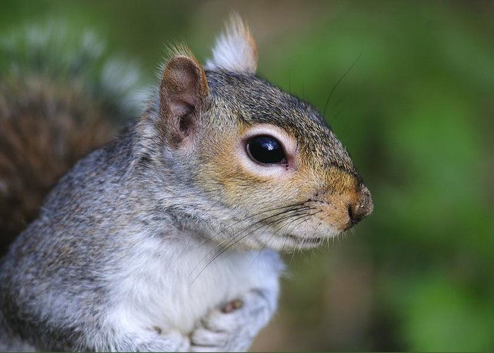 Animal Greeting Card featuring the photograph Grey Squirrel by Colin Varndell