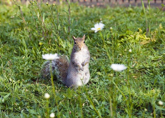 Sciurus Carolinensis Greeting Card featuring the photograph Grey Squirrel by Georgette Douwma