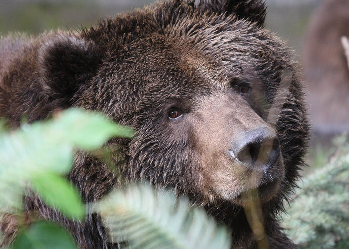 Northwest Trek Greeting Card featuring the photograph Grizzley - 0005 by S and S Photo