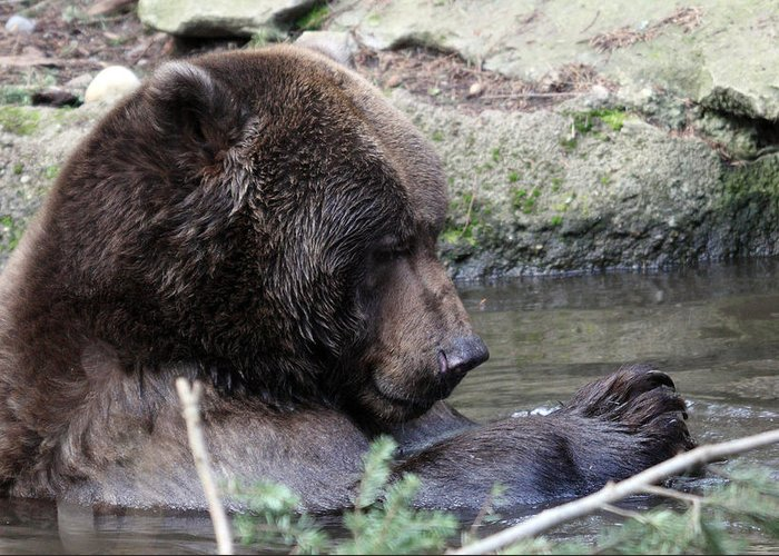 Northwest Trek Greeting Card featuring the photograph Grizzley - 0007 by S and S Photo
