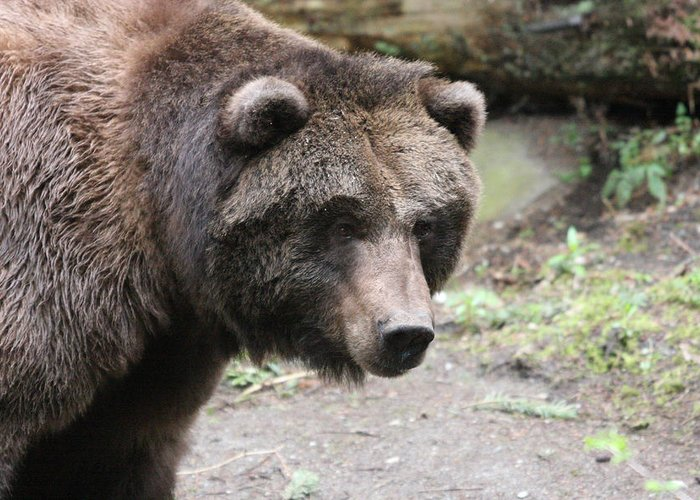 Northwest Trek Greeting Card featuring the photograph Grizzley - 0021 by S and S Photo