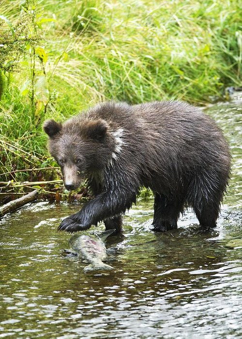 Alaska Greeting Card featuring the photograph Grizzly Cub Catching Fish In Fish Creek by Richard Wear