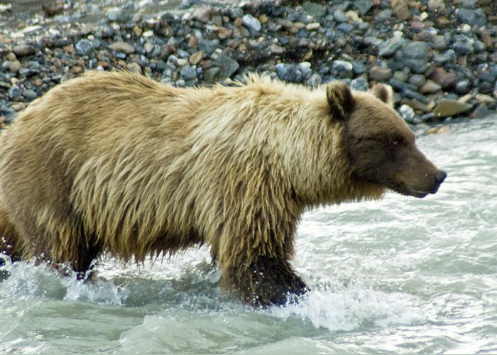 Alaska Greeting Card featuring the photograph Grizzly Sow In Denali by Jim and Kim Shivers