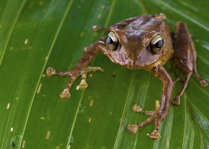00479074 Greeting Card featuring the photograph Ground Frog Nakanai Mts Papua New Guinea by Piotr Naskrecki