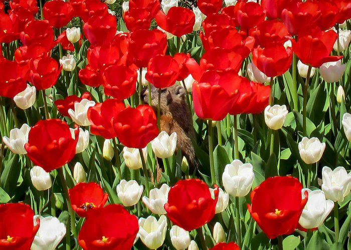 Groundhog Day Greeting Card featuring the photograph Groundhog Day - A Curious Marmot Peeking Through Luminous Red And White Spring Tulips On A Sunny Day by Chantal PhotoPix
