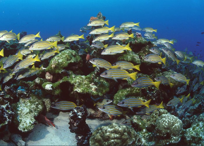 00106488 Greeting Card featuring the photograph Grunt School Along Coral Reef Cocos by Flip Nicklin