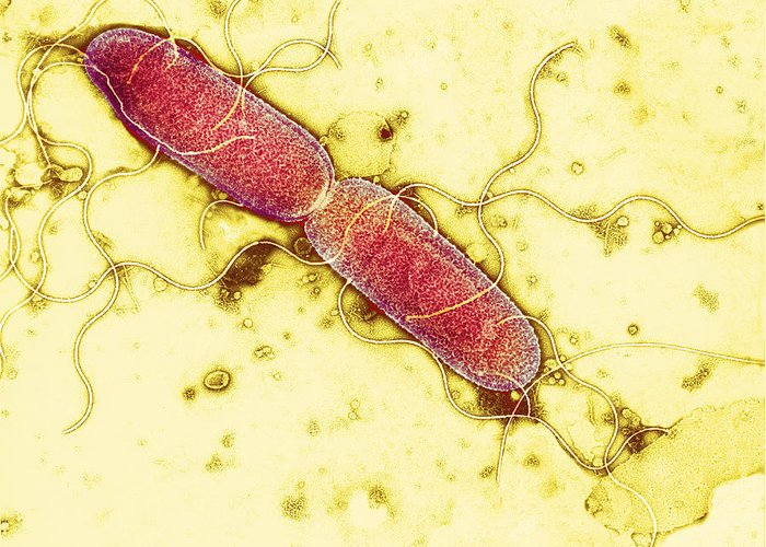 Enterobacteria Greeting Card featuring the photograph Gut Bacterium Reproducing, Tem by Hazel Appleton, Centre For Infectionshealth Protection Agency