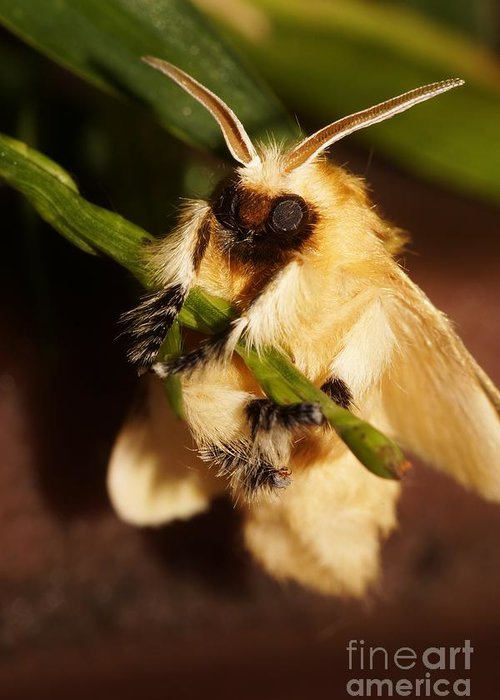 Southern Flannel Moth Greeting Cards