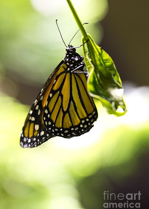Butterfly Greeting Card featuring the photograph Hanging On by Leslie Leda