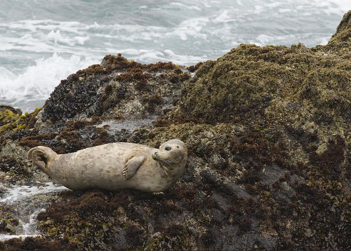 00429702 Greeting Card featuring the photograph Harbor Seal Point Lobos State Reserve by Sebastian Kennerknecht