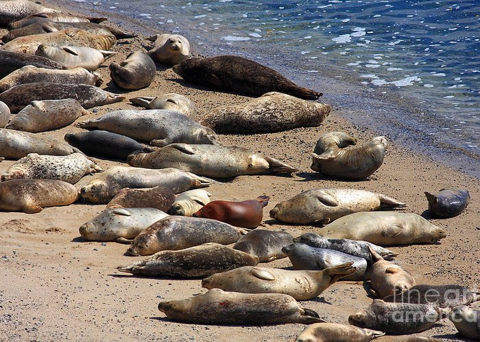 Bayarea Greeting Card featuring the photograph Harbor Seals Sunbathing On The Beach . 40d7553 by Wingsdomain Art and Photography
