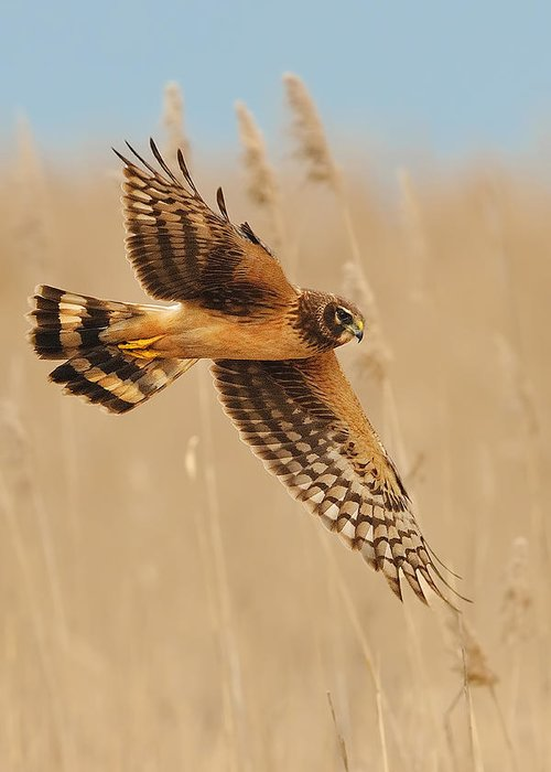 Harrier Greeting Card featuring the photograph Harrier Over Golden Grass by William Jobes