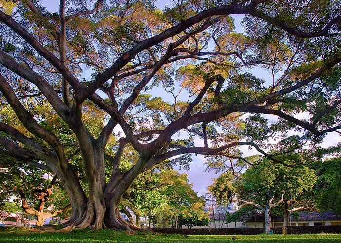 Tree Greeting Card featuring the photograph Hawaii Tree by Dave Dilli