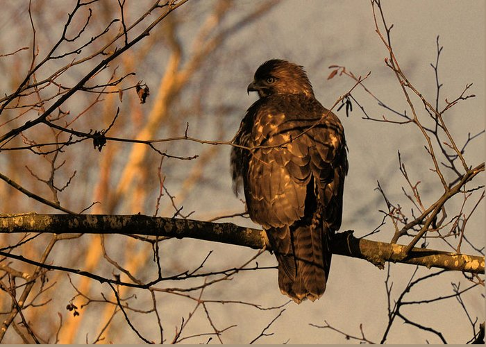 Hawk Greeting Card featuring the photograph Hawk by Lawrence Christopher