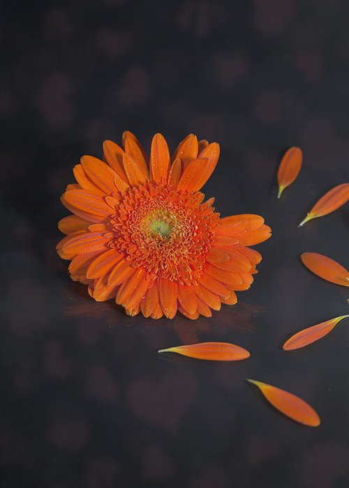 Gerbera Greeting Card featuring the photograph He Loves Me... by Joana Kruse