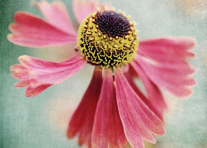 Heleniumm Greeting Card featuring the photograph Helenium Flower 1 by Neil Overy