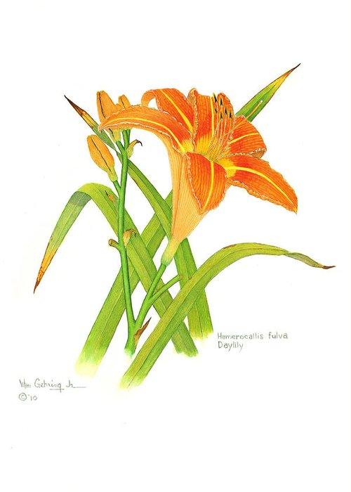 Flowers Greeting Card featuring the painting Hemerocallis fulva Daylily by Bill Gehring