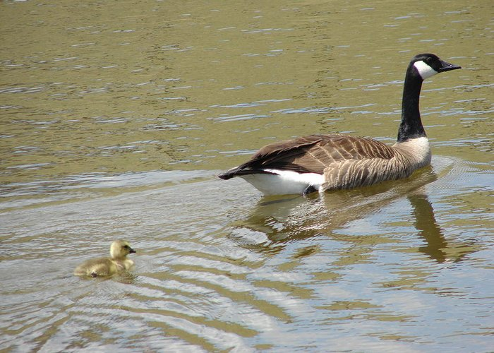 Geese Greeting Card featuring the photograph Hey Mom Wait For Me by Phyllis Britton