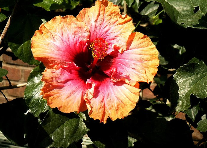 Hibiscus Flower Greeting Card featuring the photograph Hibiscus Flower by Lisa Phillips