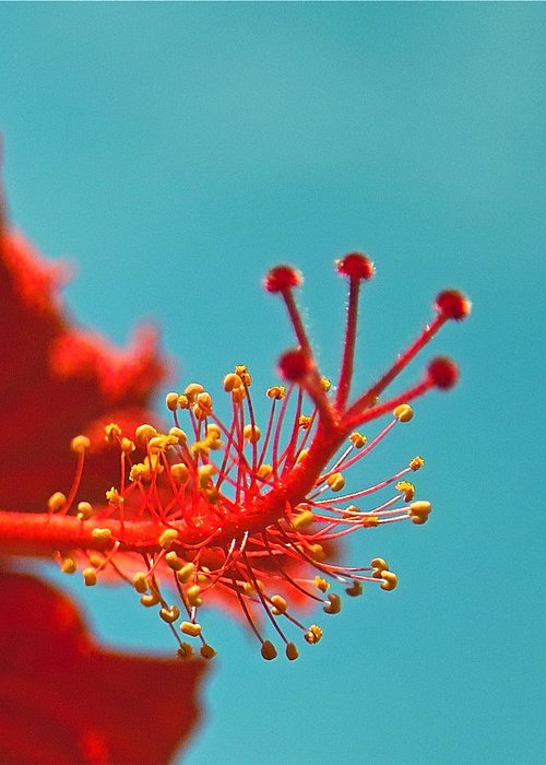 Hibiscus Greeting Card featuring the photograph Hibiscus by Jocelyn Kahawai
