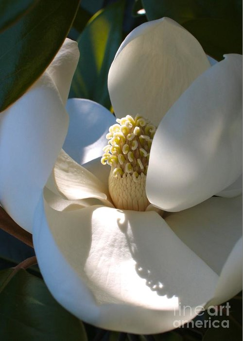 Magnolia Greeting Card featuring the photograph Hidden Magnolia by Carol Groenen