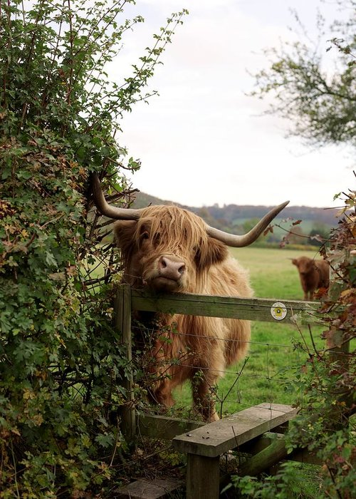 Highland Cow Greeting Card featuring the photograph Highland Cow by Tek Image