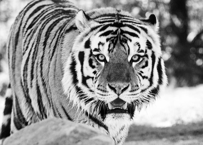 Tiger Greeting Card featuring the photograph His Majesty by Scott Pellegrin