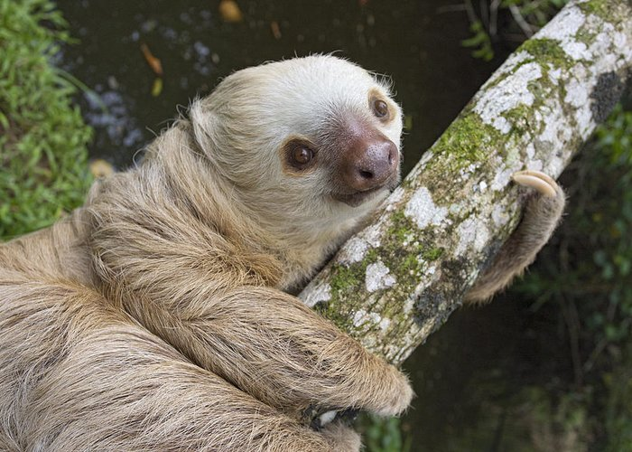 Mp Greeting Card featuring the photograph Hoffmanns Two-toed Sloth Costa Rica by Suzi Eszterhas