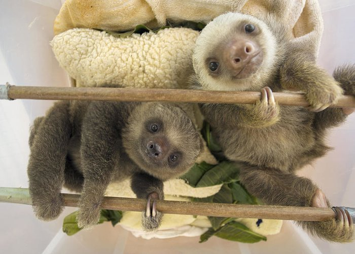 Mp Greeting Card featuring the photograph Hoffmanns Two-toed Sloth Orphaned Babies by Suzi Eszterhas