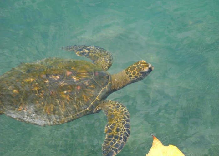 Elaine Haakenson Greeting Card featuring the photograph Honu Waters by Elaine Haakenson