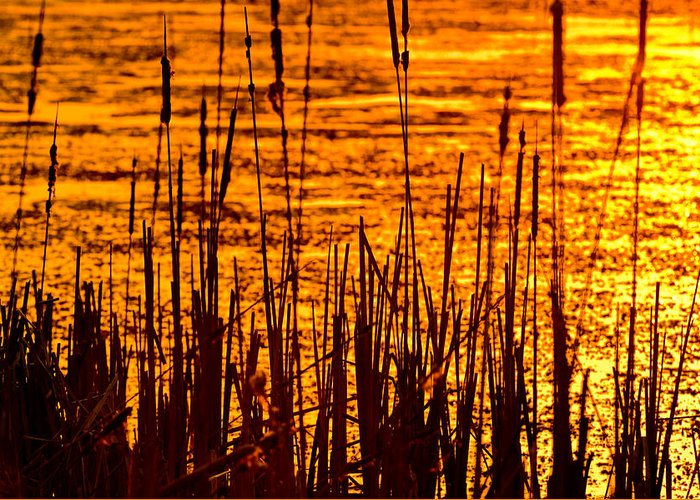 Horicon Greeting Card featuring the photograph Horicon Cattail Marsh Wisconsin by Steve Gadomski
